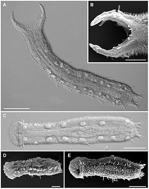 Gastrotrich - Ptychostomella sp., Macrodasyida