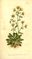 The Botanical Magazine, Plate 351 (Volume 10, 1796).png
