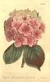 The Botanical Magazine, Plate 438 (Volume 13, 1799).png