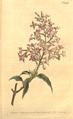 The Botanical Magazine, Plate 486 (Volume 14, 1800).png