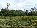 The Nature of Tumpat district in Kelantan 2.jpg