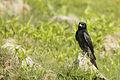 The Proud Black Bird (7183529884).jpg