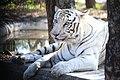 The White Tiger of Banerghatta National Park.jpg