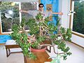 The largest indoor jade plant in the world.jpg