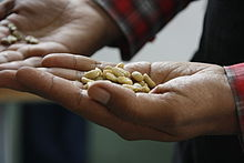Raw coffee beans in a person's hand