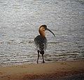 Theristicus caudatus Bandurria aliblanca Buff-necked Ibis (8501707736).jpg