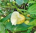 Thespesia populnea (Flower).jpg