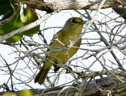Thick-billed vireo. Vireo crassirostris.jpg