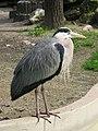 This heron had compacted itself (540177861).jpg