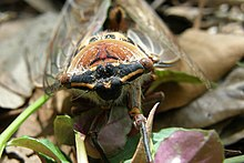 Photograph of cicada face, sitting on fallen leaves