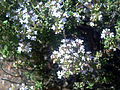 Thymus vulgaris DehesaBoyal.jpg