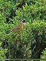 Tickell's Leaf Warbler (Phylloscopus affinis) (23379995315).jpg