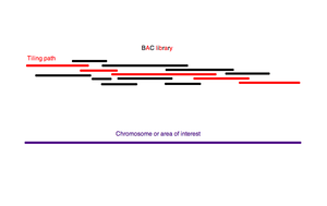 Shotgun sequencing - A BAC contig that covers the entire genomic area of interest makes up the tiling path.