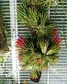 Tillandsia sp., Puerto Rico, Costa Rica - Lyman Plant House, Smith College - DSC02007.jpg