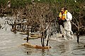 Tim Kimmel, USFWS, Rescues Oiled Pelican in Barataria Bay, La. (4678167105).jpg