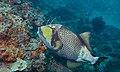 Titan Triggerfish (Balistoides viridescens) (6129782959).jpg