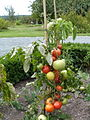 Tomate New Yorker P1020450.JPG