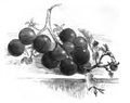 Tomate cerise Vilmorin-Andrieux 1883.png