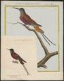 Topaza pella - 1700-1880 - Print - Iconographia Zoologica - Special Collections University of Amsterdam - UBA01 IZ19100241.tif