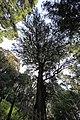 Torreya nucifera Torinoko-sanshou-jinja 1.jpg