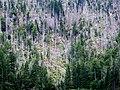 Tote Bäume am Großen Rachel.JPG
