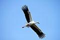 Toyooka City Oriental White Stork.jpg