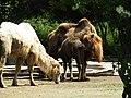Trampeltier Stute Madhuri und Hengst Samuel und Collin (Zoo Dresden).jpg