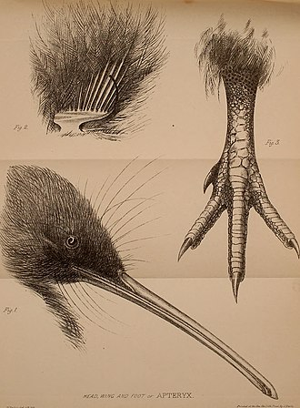 Kiwi - 1860s drawing of Apteryx, illustrating its distinctive features, including long beak, short legs and claws, and dark hair-like feathers.