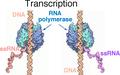 Transcription both strands.png
