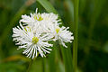 Trautvetteria caroliniensis 04.jpg