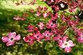 Tree-pink-dogwood-flowers - West Virginia - ForestWander.jpg