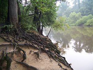 Cliffs of the Neuse State Park - Tree roots at riverside in park.