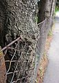 Tree grown on fence.jpg