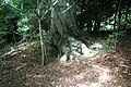 Tree roots with dappled sunshine in Harestanes woodland 01.jpg