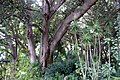 Trees in botanic garden in Adelaide.jpg