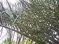 Trianglepalmfruit.JPG