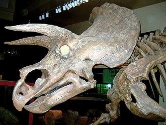 Marginocephalia - Skull of Triceratops horridus