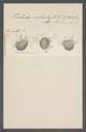Trichoda rostrata - - Print - Iconographia Zoologica - Special Collections University of Amsterdam - UBAINV0274 113 15 0061.tif