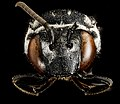 Triepeolus donatus, F, face 2013-01-04-15.44.59 ZS PMax (8355285478).jpg