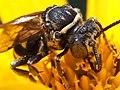 Triepeolus lunatus-head.jpg