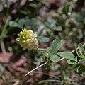 Trifolium campestre-Trèfle jaune-Feuille-20160603.jpg