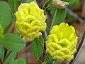 Trifolium campestre EnfoqueFloral 2010-5-08 DehesaBoyaldePuertollano.jpg