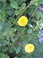 Trifolium campestre Enfoque 2009-5-02 DehesaBoyaldePuertollano.jpg