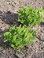 Trifolium pannonicum Koniczyna pannońska 2016-05-02 02.jpg