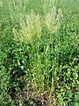 Trisetum flavescens subsp. flavescens sl5.jpg