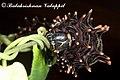 Troides minos caterpillar 2011 06 30 6847 Balakrishnan Valappil (6085987482).jpg