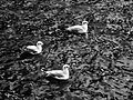 Trois mouettes flottant sur l'eau, à Asnières.JPG