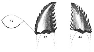 Troodon - Illustration of the T. formosus holotype tooth