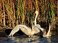 Trumpeter Swans on Seedskadee National Wildlife Refuge (21931670283).jpg