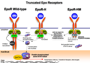 Erythropoietin receptor - Murine Epo Receptor truncations and known functions. Erythroid differentiation depends on transcriptional regulator GATA1. EpoR is thought to contribute to differentiation via multiple signaling pathways including the STAT5 pathway. In erythropoiesis, EpoR is best known for inducing survival of progenitors.